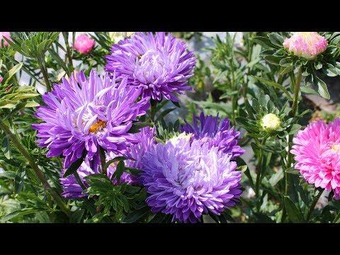 Астры – кустарниковая, новобельгийская, новоанглийская, вересковая, агератовидная – описание