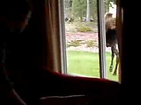Moose Attack Video
