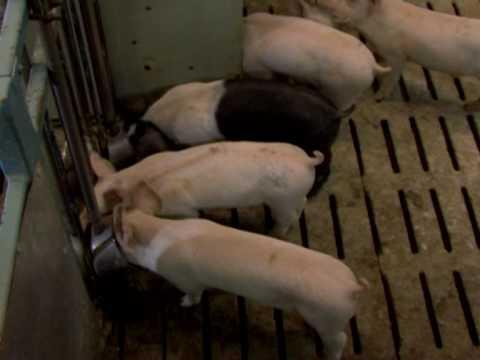 K&K СВИНОВОДСТВО 1/20 Поросята Свиньи Свиноматки Хряки