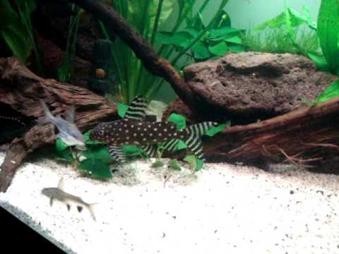 ... (132 Gallon) Aquarium (Pleco,Paroon/ID/Colombian Shark, Catfish