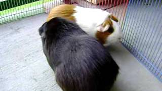 Two Female Guinea Pigs Fighting Over Dominance - Part II