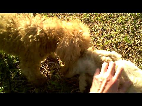 STRAY Red Poodle Teddy Bear - World's Cutest Stray Dog