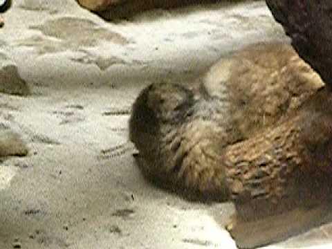 マヌルネコの赤ちゃん(上野動物園)17-三つ巴