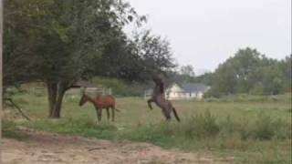 Horses picking apples (and shaking them down)