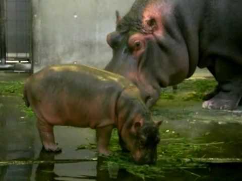 王子動物園・カバの赤ちゃん Baby Hippo: 26Days Old