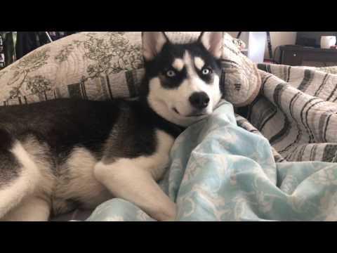 Sibirya Kurdu Nasıl Uyandırılır?🙂🙂
