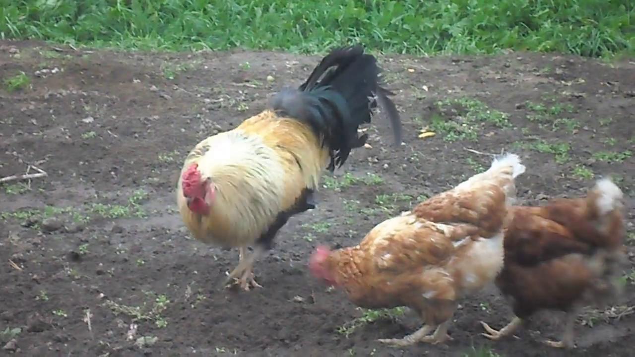 курица клюёт человека