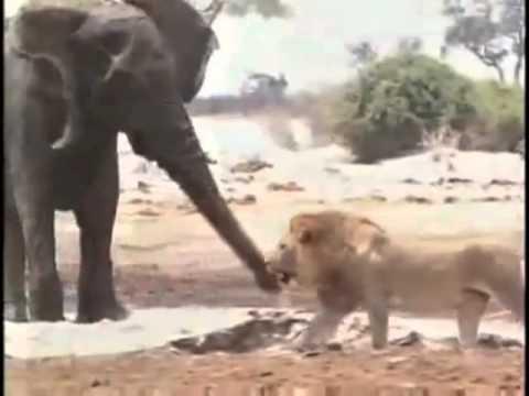 فيديو مؤثر لأسود تأكل فيل صغير امام امه التي تبكي . Music Videos
