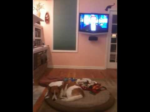 Emily the wonder dog sings to the NBC Nightly News song