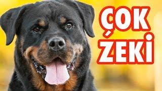 Dünyanın En Zeki 10 Köpek Cinsi