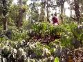 comical coffee picking