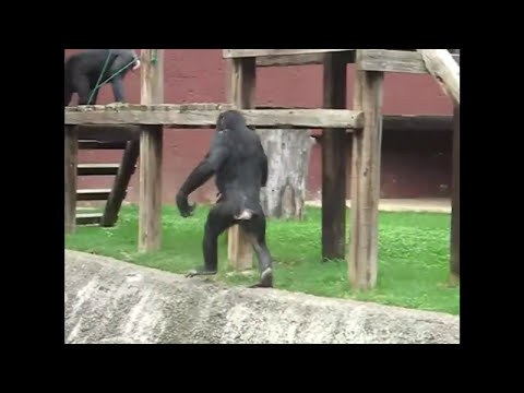 Monos GRACIOSOS / FAILS Chimps