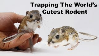 Catching Kangaroo Rats. Trapping The World's Cutest Rodents. Mousetrap Monday