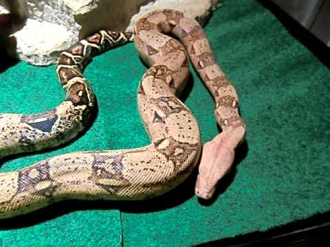New Colombian Red Tail Boa Constrictor Video