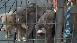 Cute and aggressive Pitbull puppies