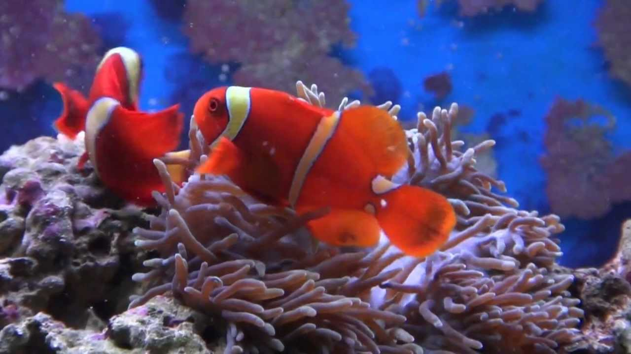 Amphiprioninae  Wikipedia