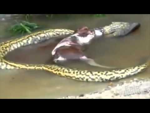 Anaconda Snake Eating a Cow Snake Eats Cow