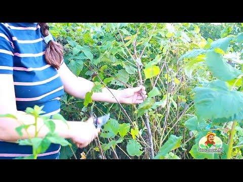 Обрезка ягодных кустарников – когда и как правильно? Советы КАНД.С.Х НАУК