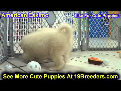American Eskimo, Puppies, For, Sale, In, Philadelphia, Pennsylvania, PA, Borough, State, Erie, York