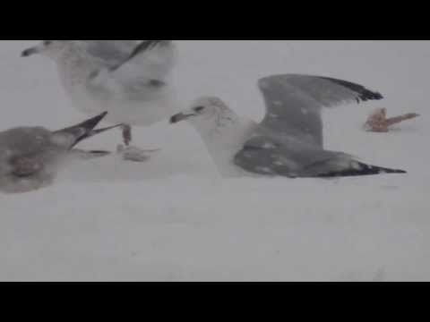 Seagulls Eating During A Blizzard