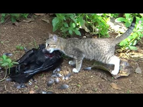Can A Cat Eat A Duck