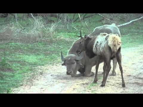 Water Buffalo Vs. Bull Elk.m4v video