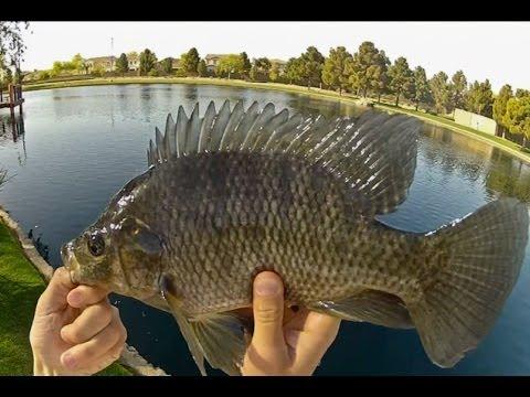 Arizona Tilapia Fishing