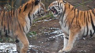 TIGER VS TIGER FIGHT GONE VIOLENT GONE SEXUAL