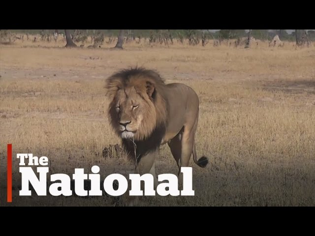 Death threats for U.S. hunter   Cecil the Lion