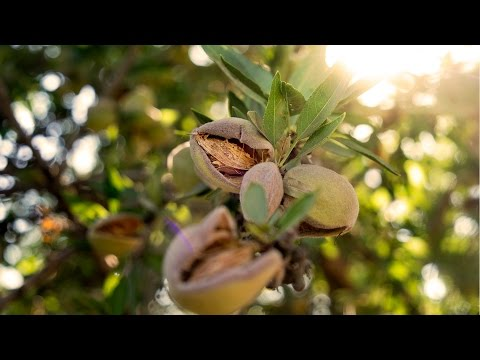 UC Davis Works with Growers to Keep Almonds Thriving