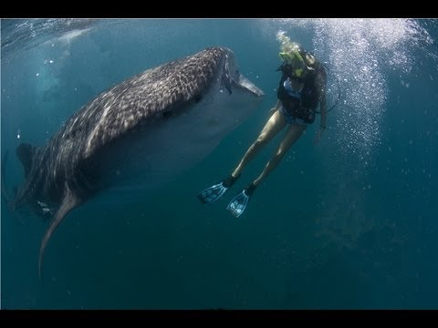 We Love Sharks - Holly Beck Dives with a Whale Shark and Great White Sharks