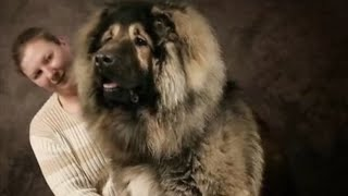 5 Biggest Guard Dogs From Around The World!
