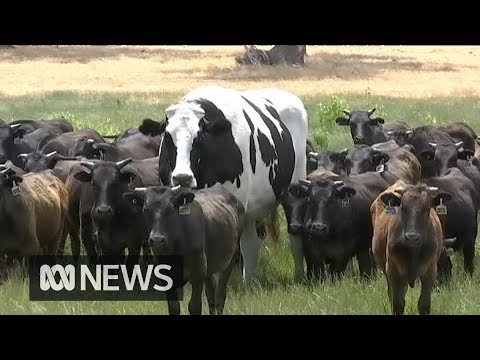 Knickers the giant steer is really quite enormous   ABC News