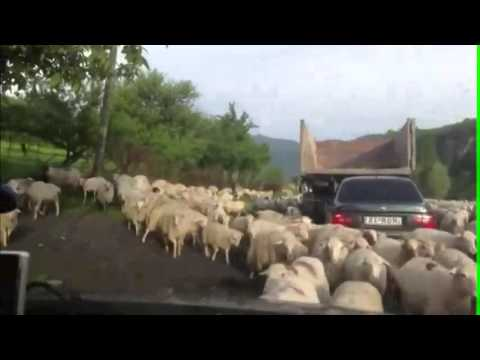 ЖЕСТЬ! Автомобили окружили злые бараны!