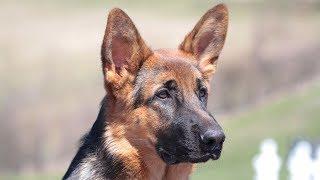 German Shepherd Training - Dealing with chasing motorized vehicles