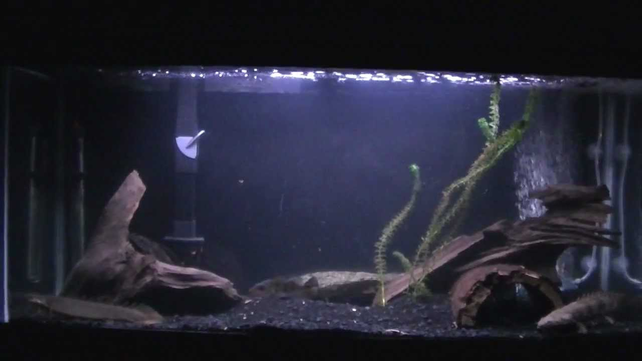 30 Gallon Polypterus Grow Out Tank August 21 2012