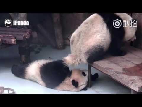 寝ているパンダの顔めがけてフンをする悪党なパンダw