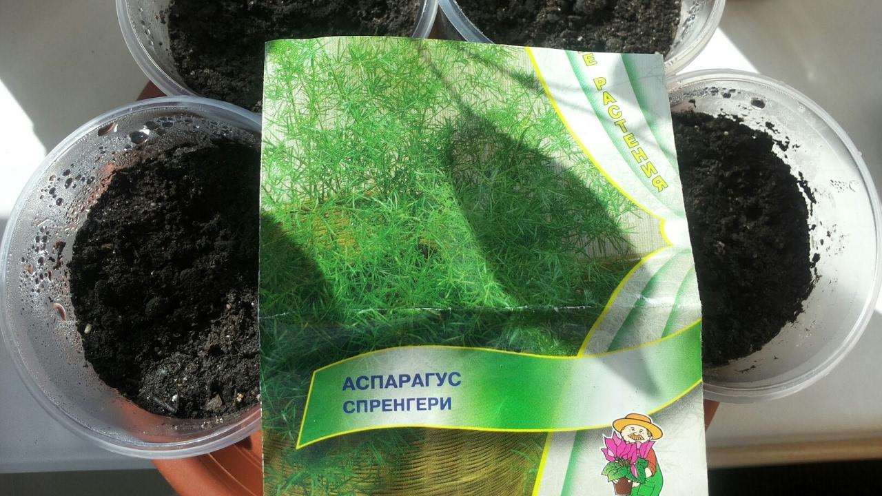 Выращивание из семян аспарагуса 23