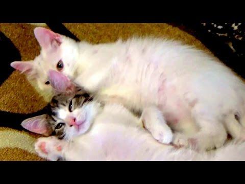 Видео о кошках.Котята играют