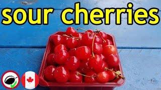 Sour Cherry Review (Prunus cerasus) - Weird Fruit Explorer Ep. 331