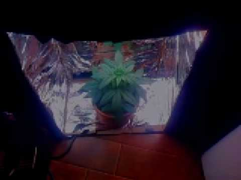 Indoor Marijuana CFL In Closet Grow Box (Week 4) Video