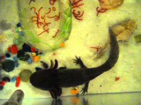 Аксолотли едят мотыль (axolotl salamander)