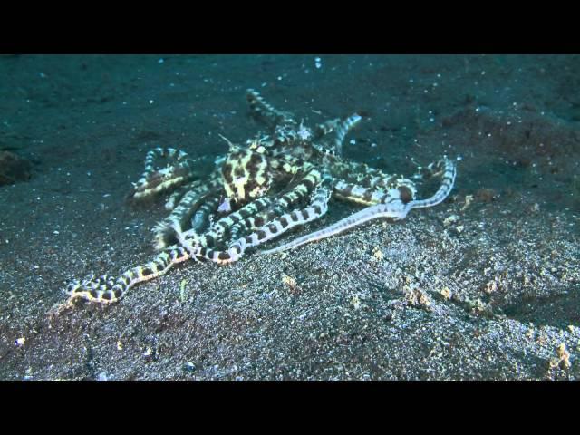 Mimic Octopus Stingray Mimic Octopuses Thaumoctopus