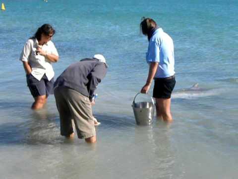 Delfinek etetése, Ausztrália, Monkey Mia