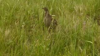 Dusky Grouse hen calling her chicks