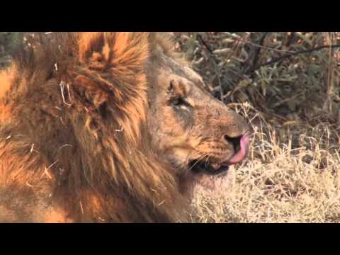Madikwe South Africa Safari Lions - Travel With Kids