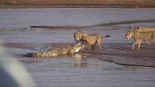 අලි මස් කන්න මරාගන්නා සිංහයින් හා කිඹුලෙක් (දුර්ලභ වීඩියෝවක්) Lions vs. Crocodile Fight - Samburu Na