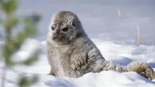 Saimaa Ringed Seal - Animal of the Week