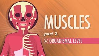 Muscles, part 2 - Organismal Level Crash Course AP 22