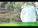 オリーブ島のマドンナ 農家の方からオリーブの育て方を教わる2(苗木地植編)